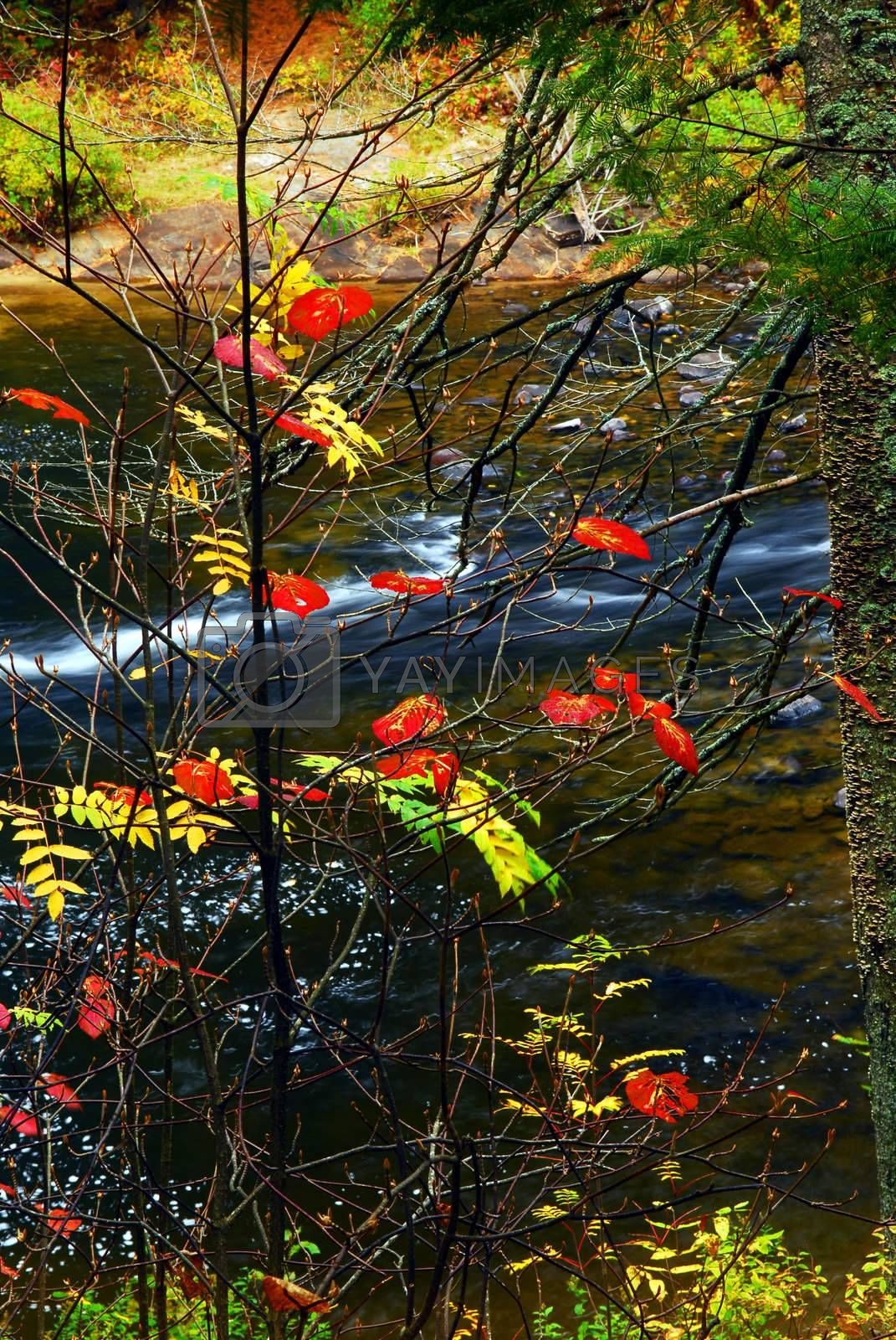 Fall forest with river in the background. Algonquin provincial park, Canada.