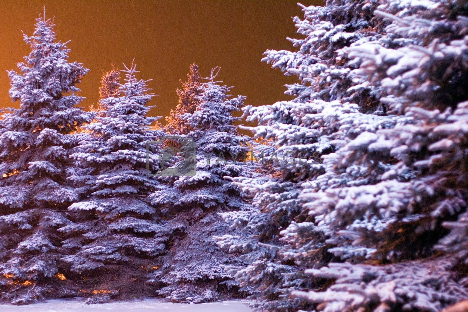 Blue firs covered with snow in the warm light