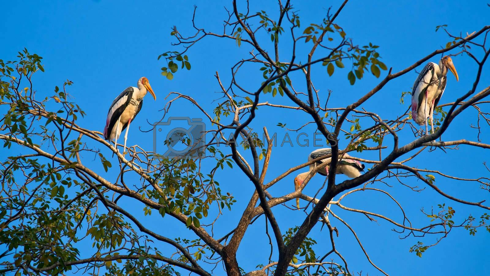 Painted storks on the branch of the tree