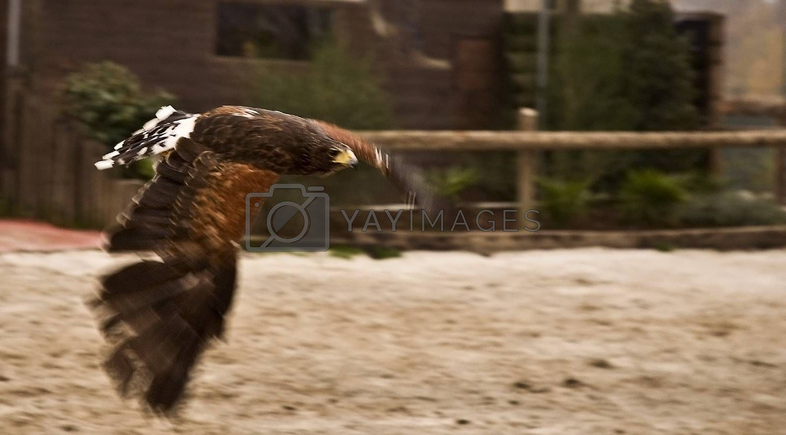 Eagle in flight on blurred background