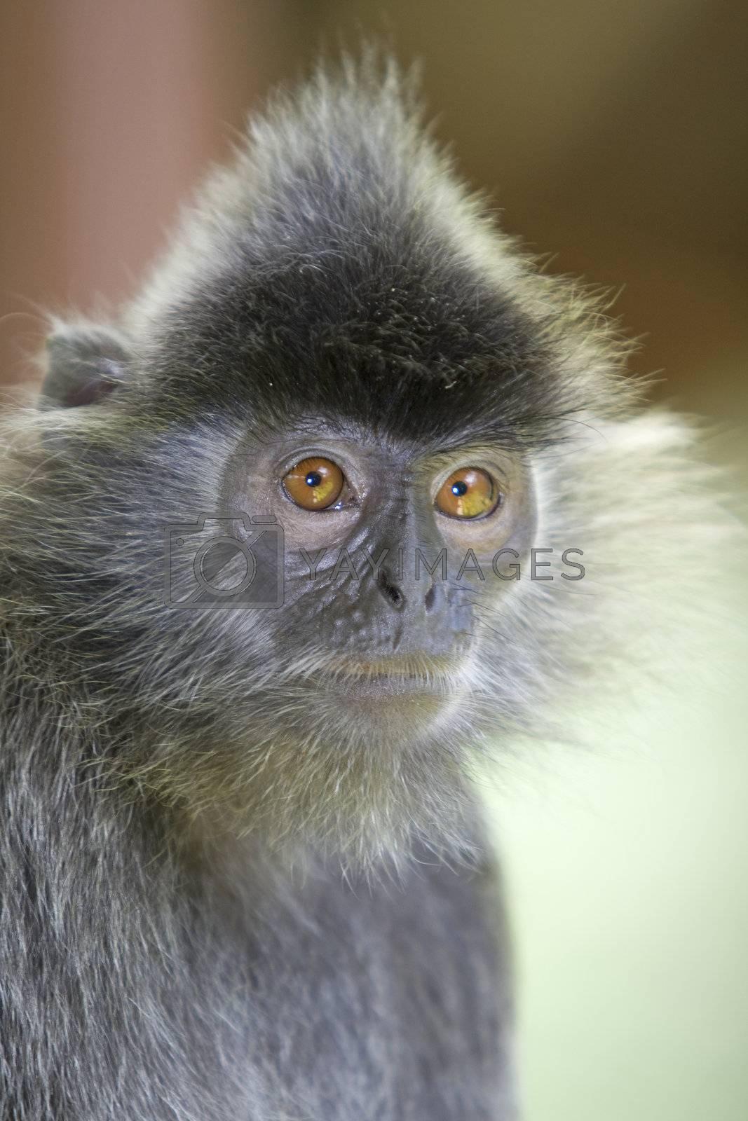 A silver leaf monkey in the mangrove, Kota Kinabalu
