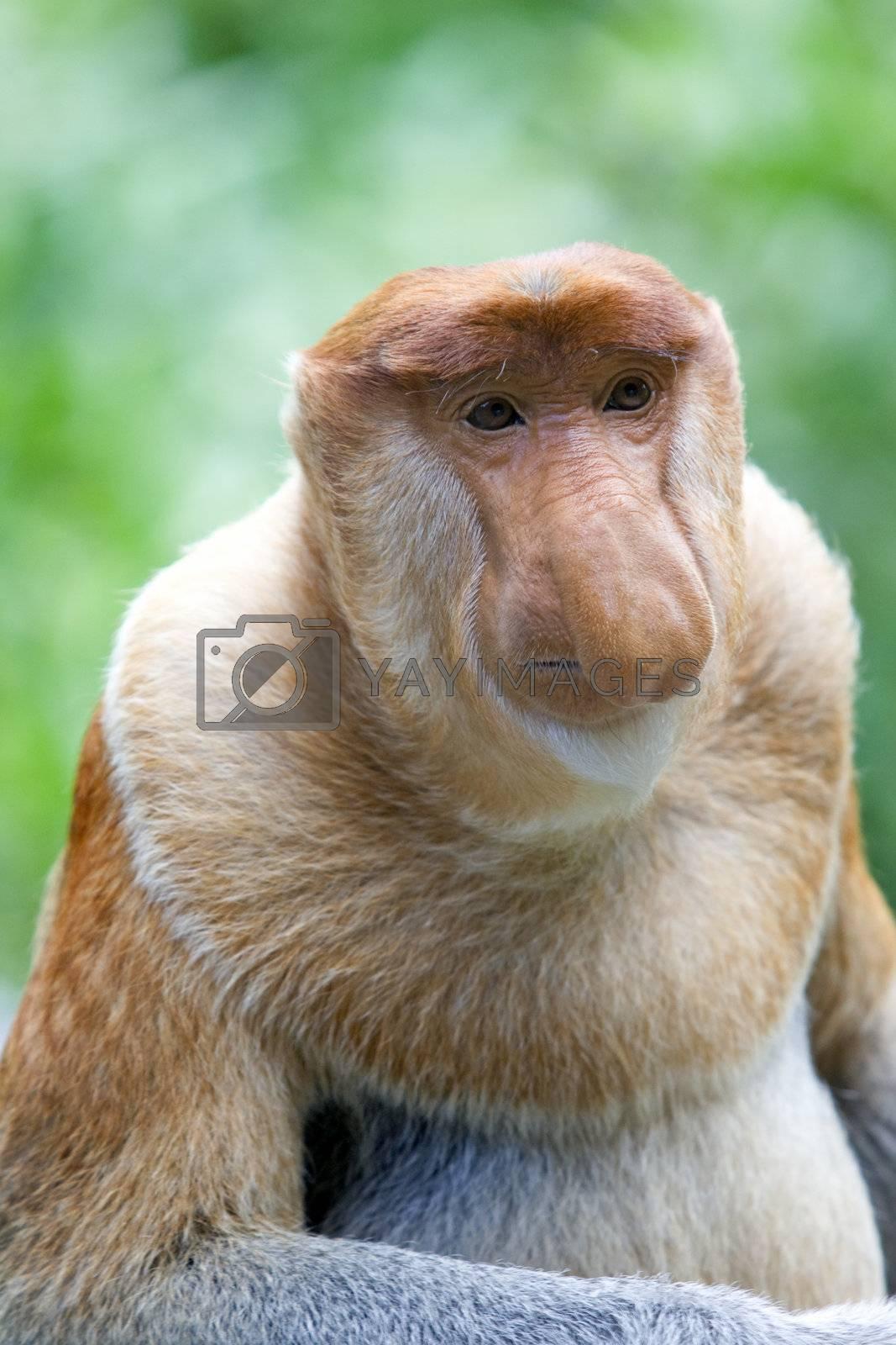 A rare proboscis monkey in the mangrove, Kota Kinabalu