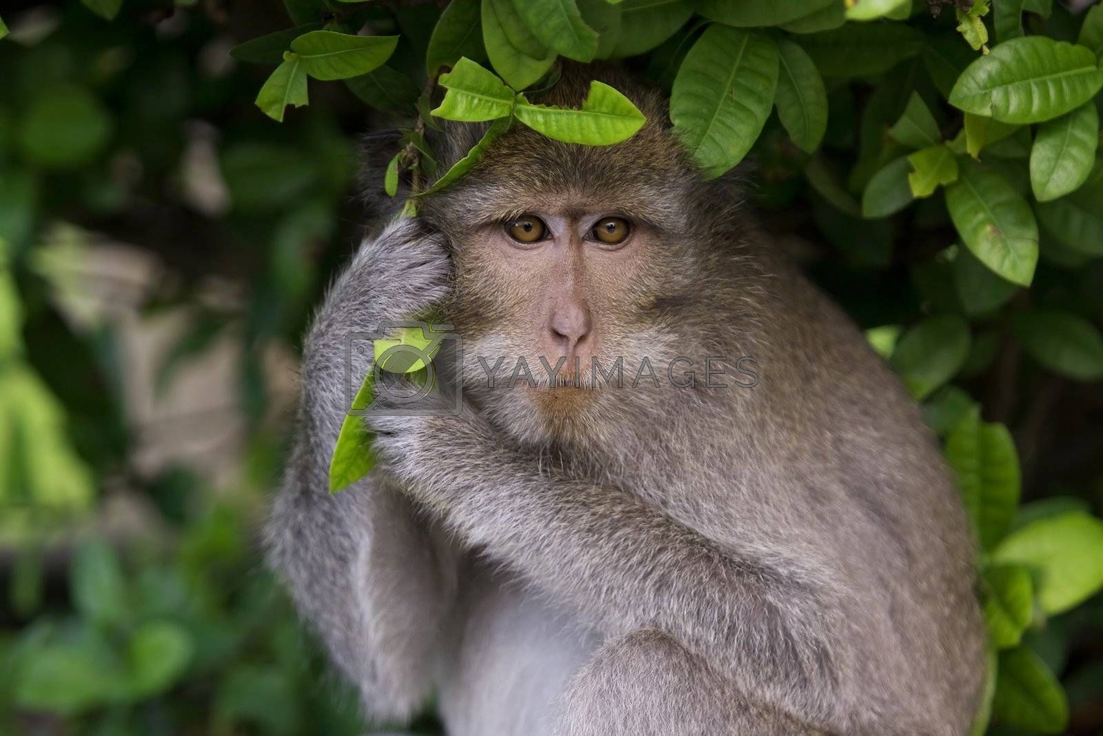 A macaque monkey in Bali, Indonesia