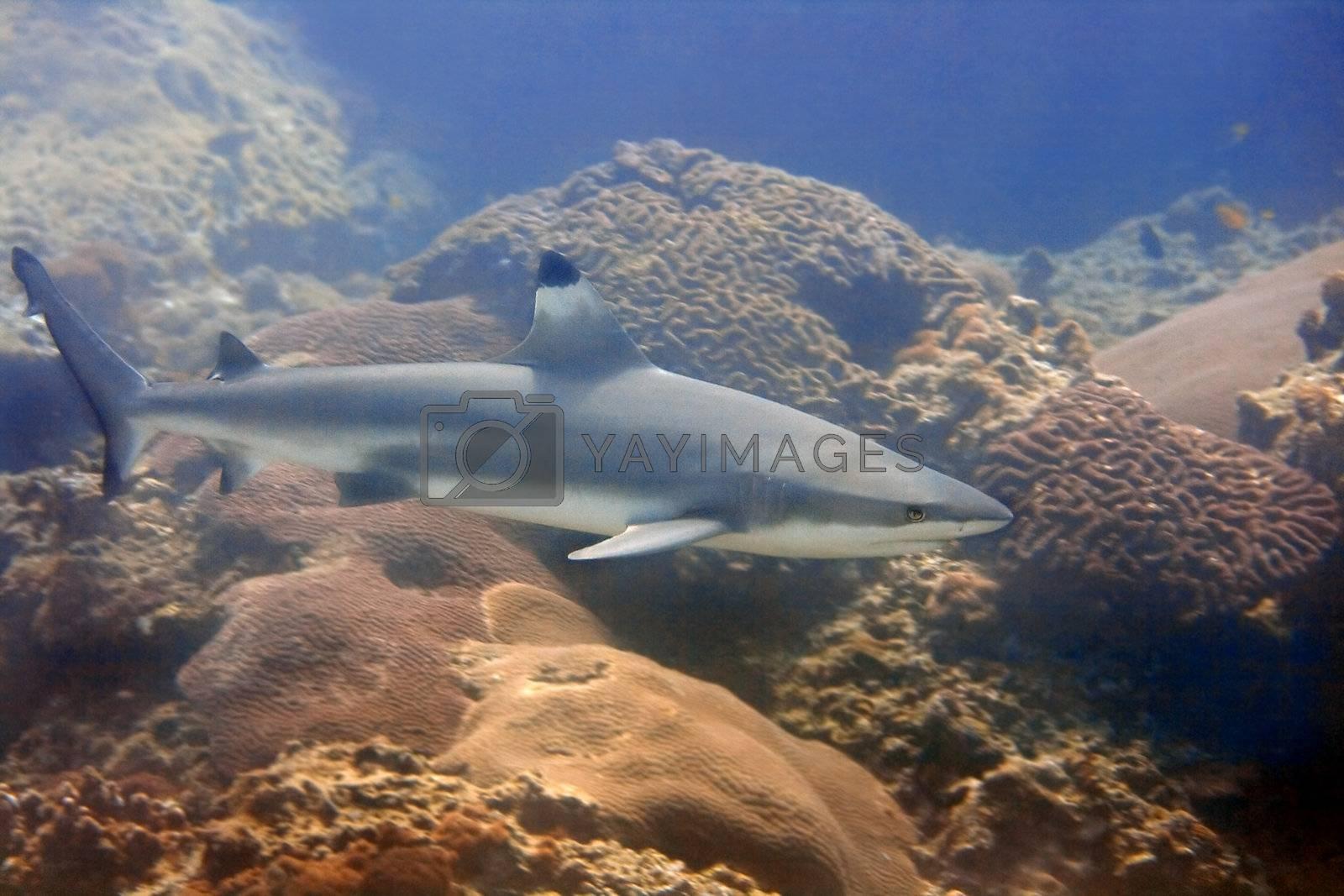 A blacktip reefshark at Palong divesite, Thailand