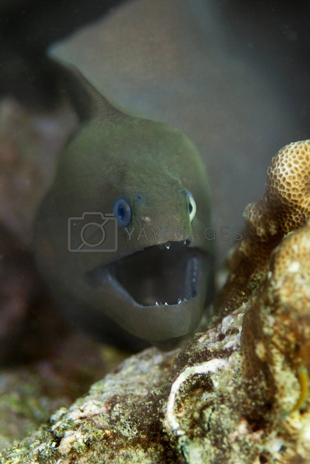 A giant moray eel at Bida Nok divesite on Phi Phi, Thailand