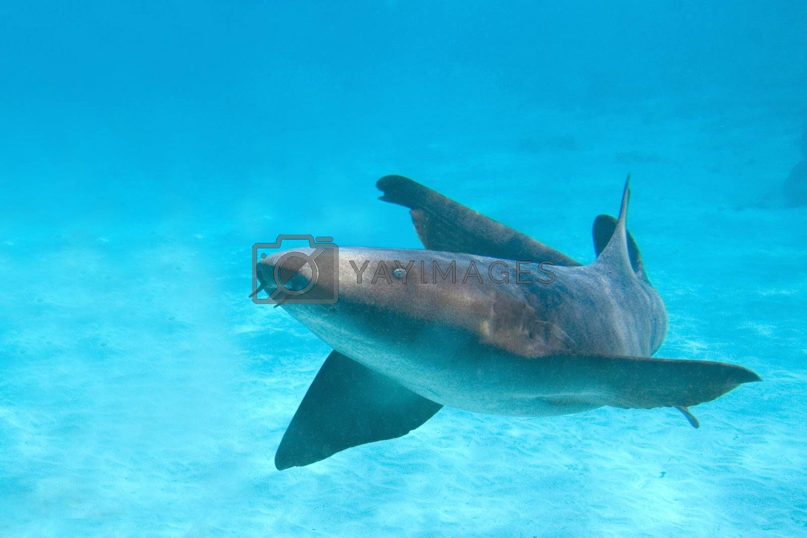 Nurse shark photographed at Grand Cayman