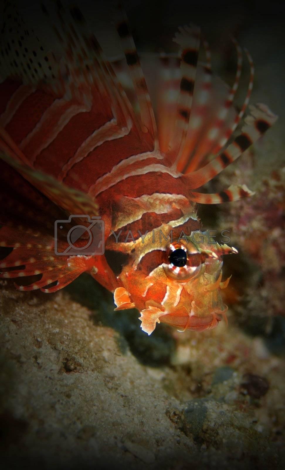 Common Lionfish at Palong divesite, Phi Phi, Thailand