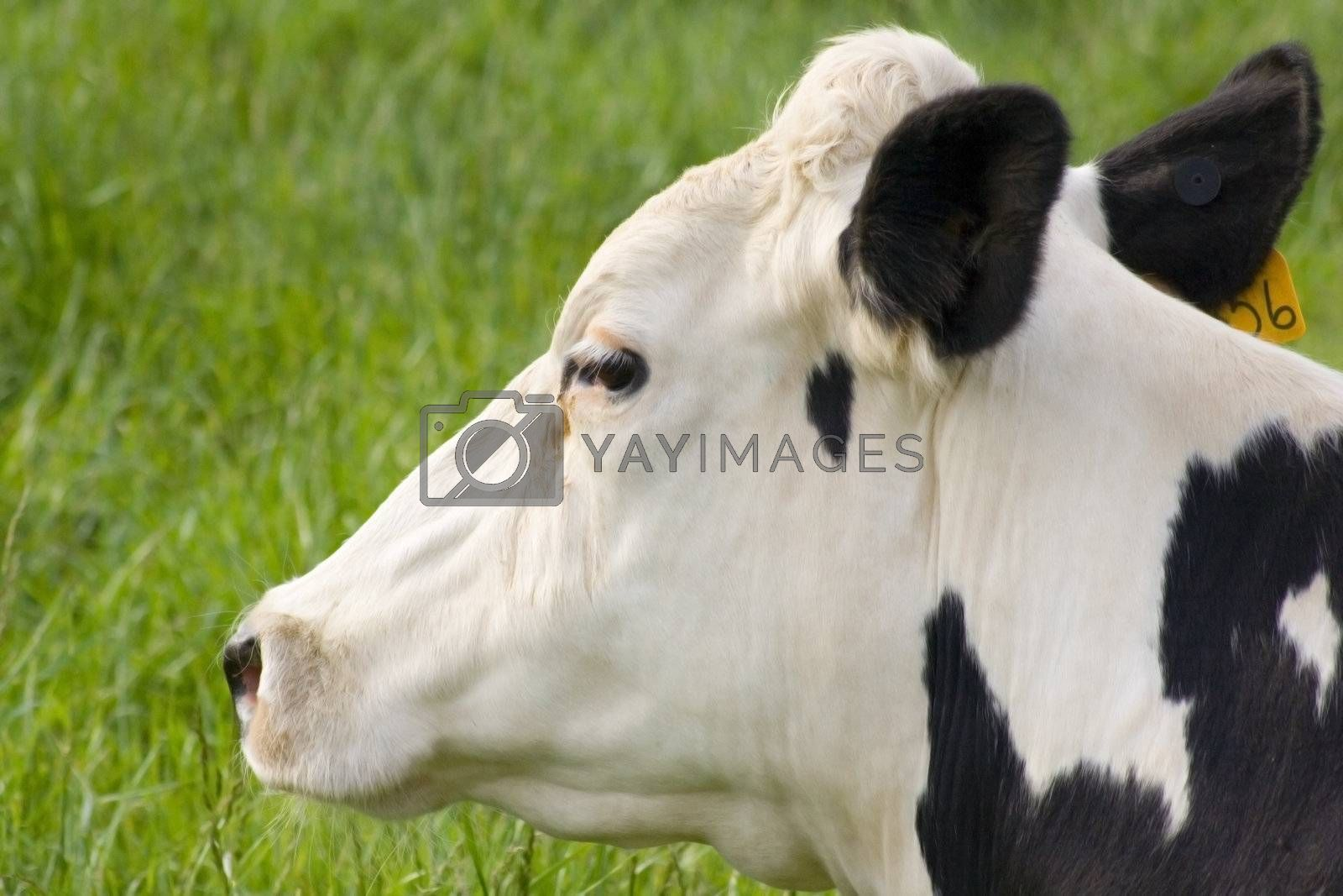 A profile view of a cow laying in the grass.
