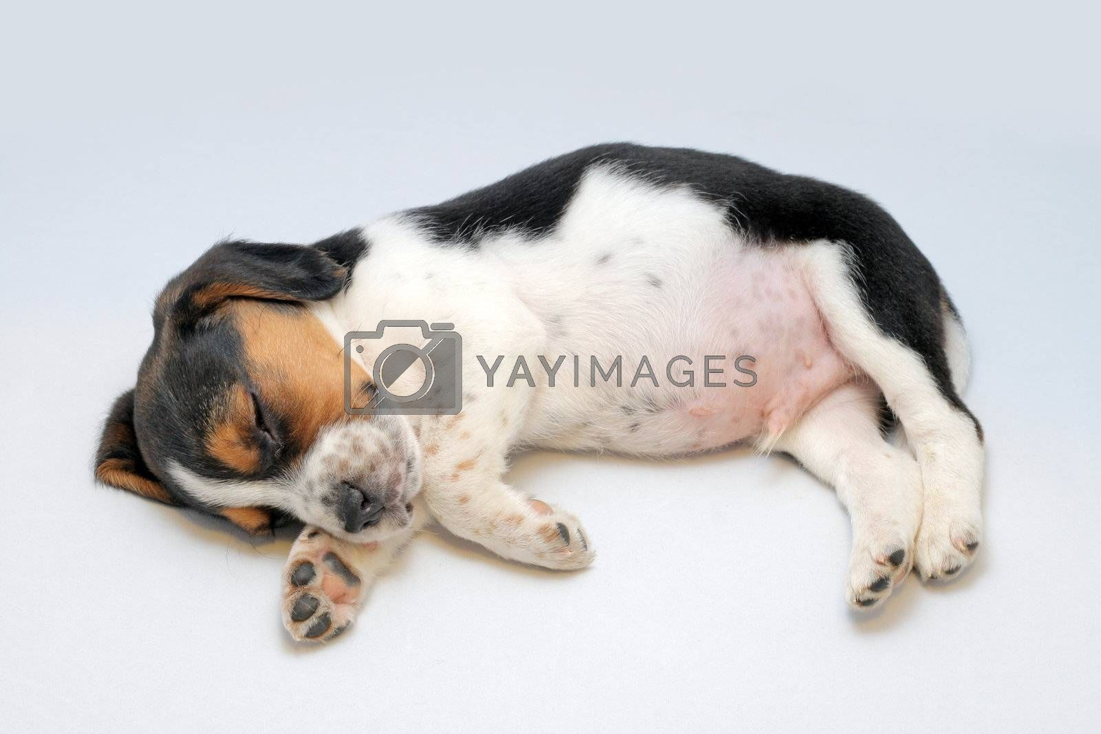 Tri Color Beagle Puppy Sleeping Royalty Free Stock Image Stock Photos Royalty Free Images Vectors Footage Yayimages