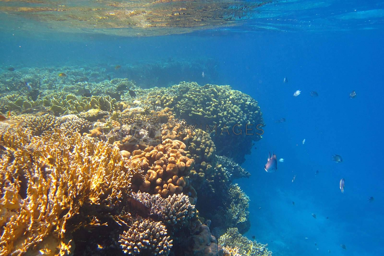 colorful coral reef in clear water with any amount of fish