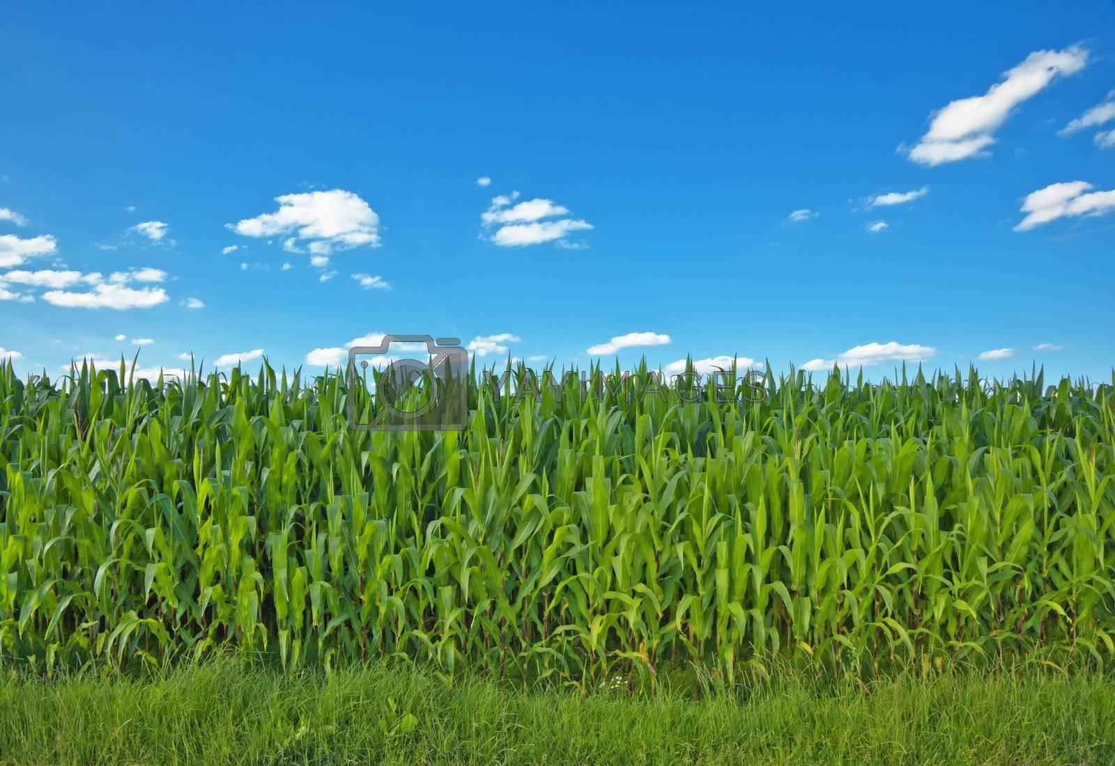 A photography of a beautiful corn field