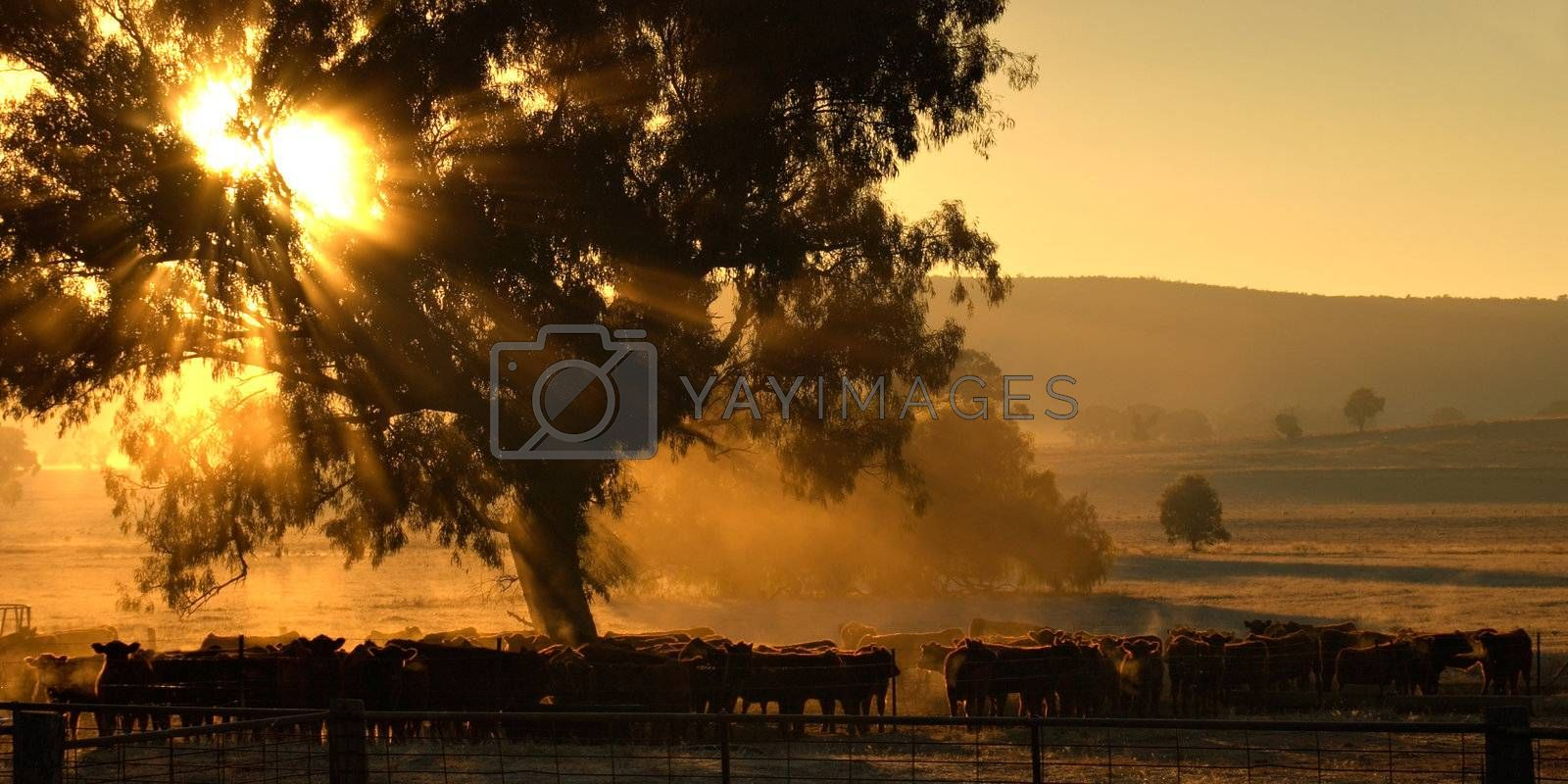 sun rays coming through the trees over a herd of cattle in the morning