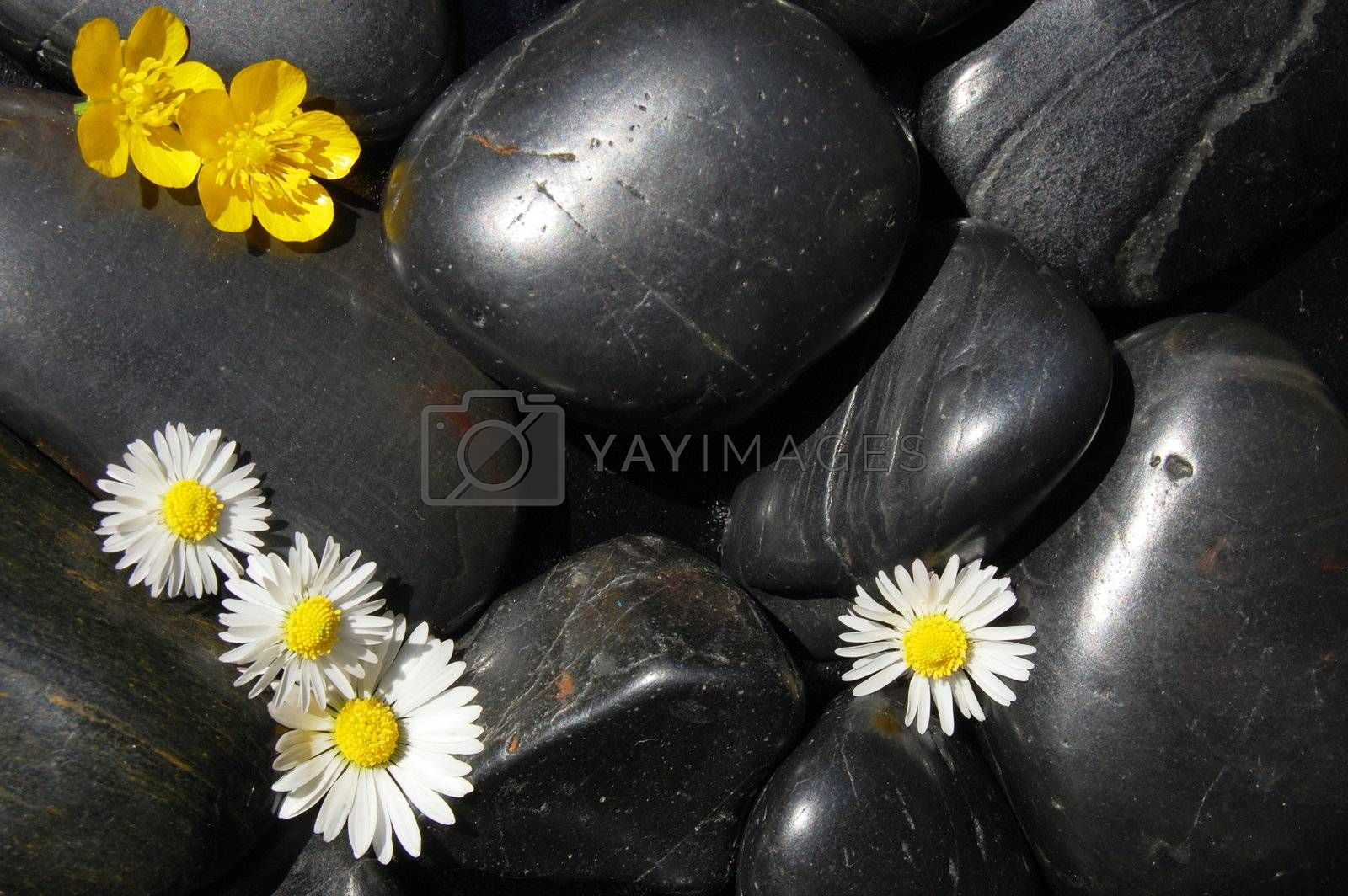 happy daisy flowers on black stone background showing health and wellness concept