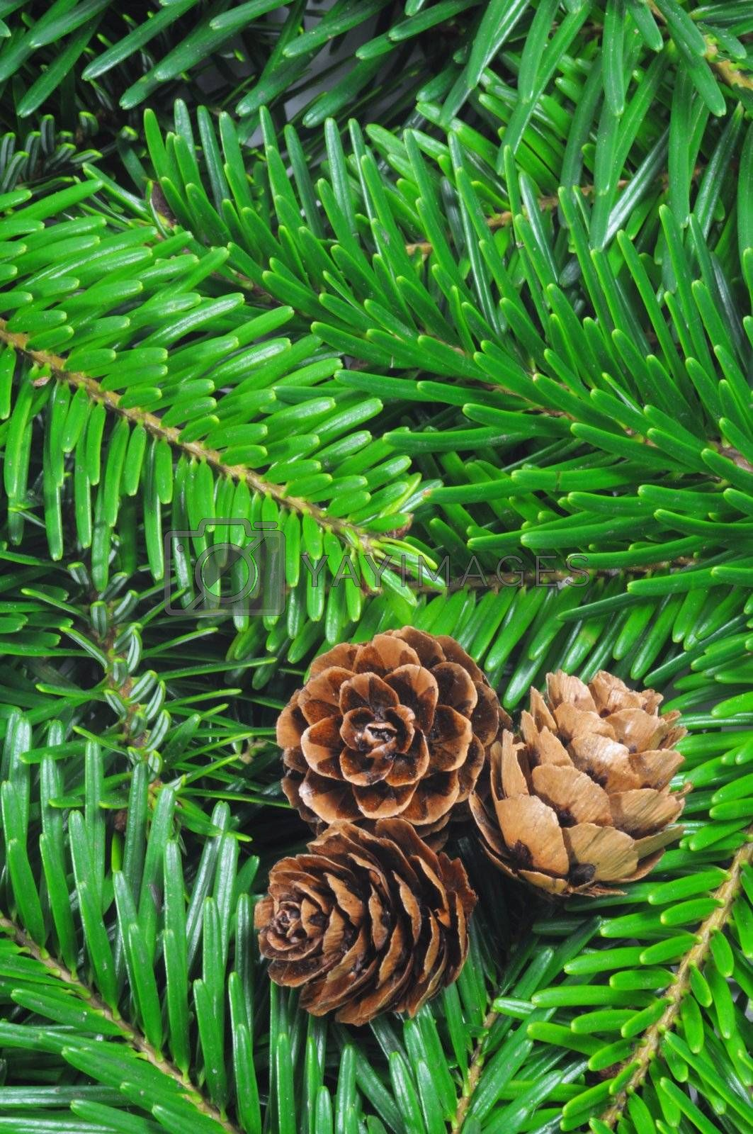 green fir from a xmas or christmas tree can be uses as background