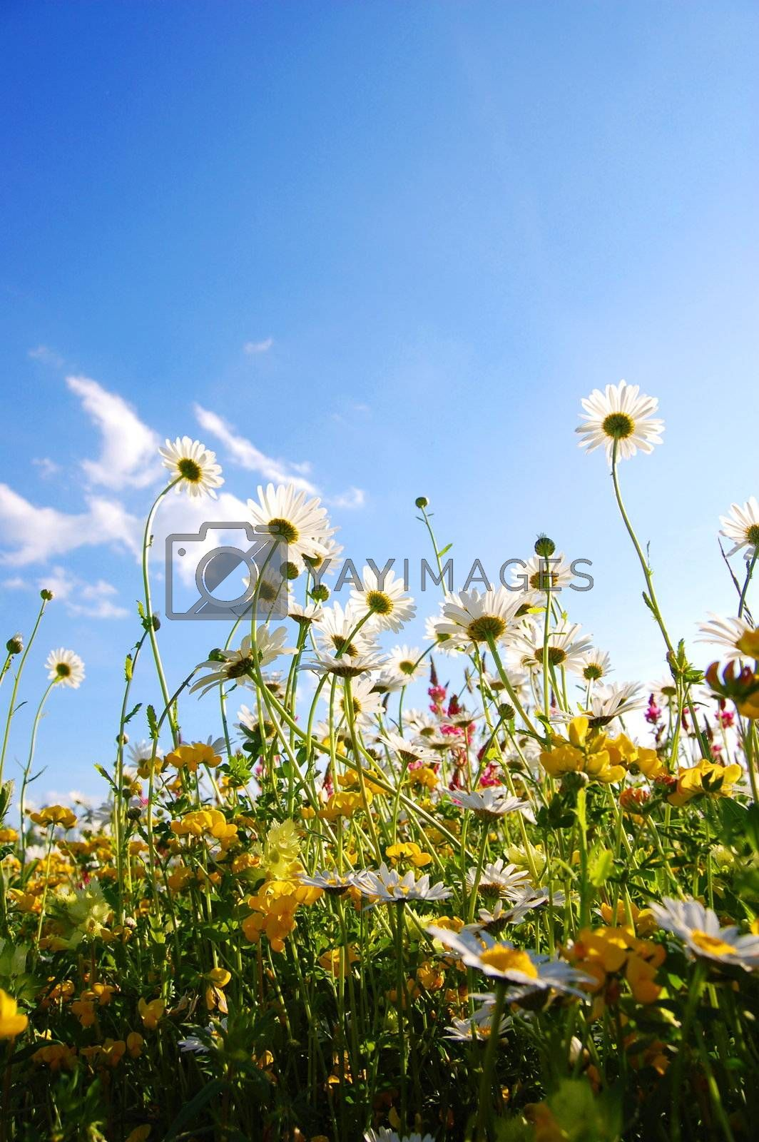 daisy flowers from below with blue sky on sunny summer day