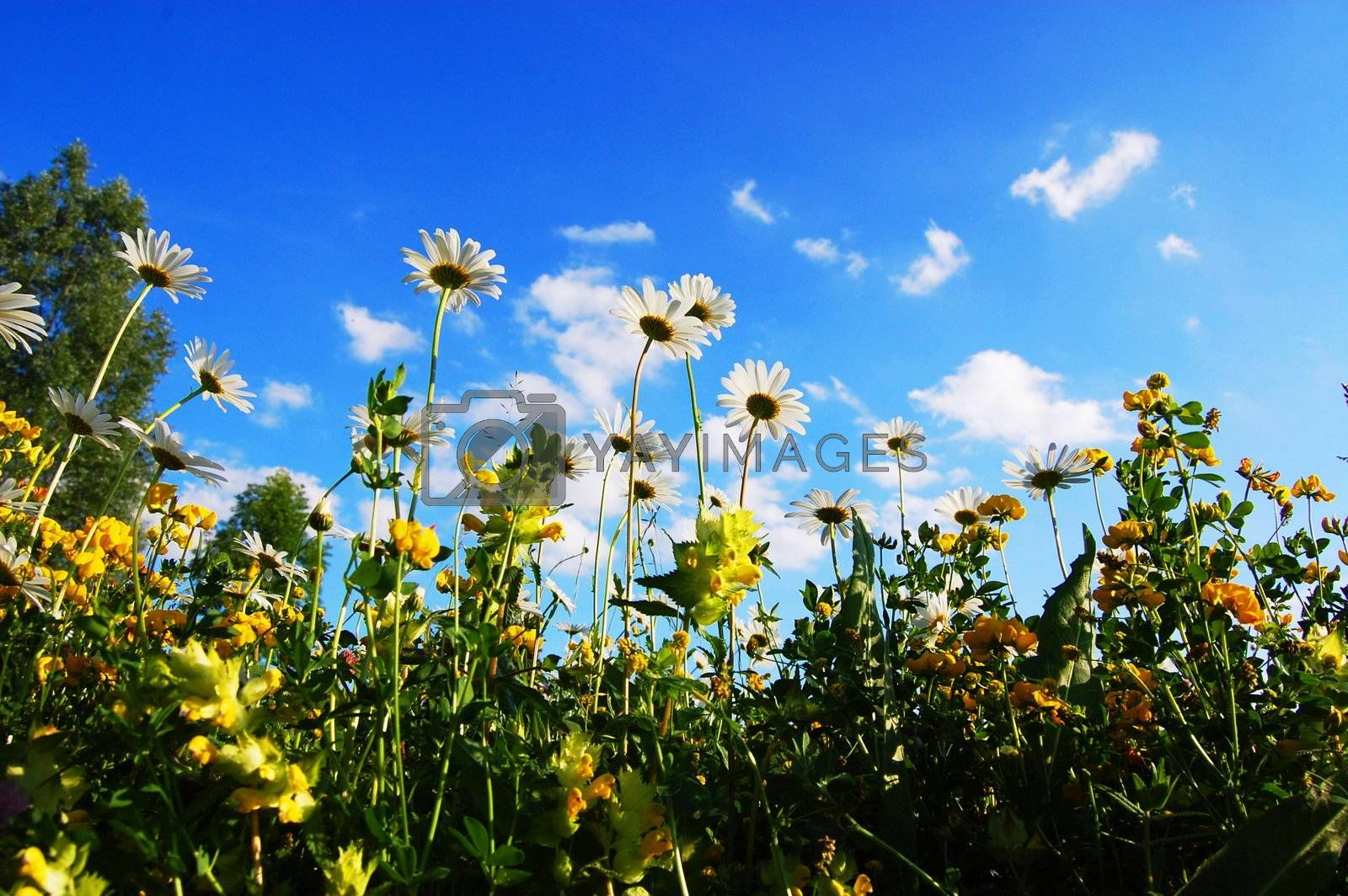 daisy flowers in summer from below with blue sky