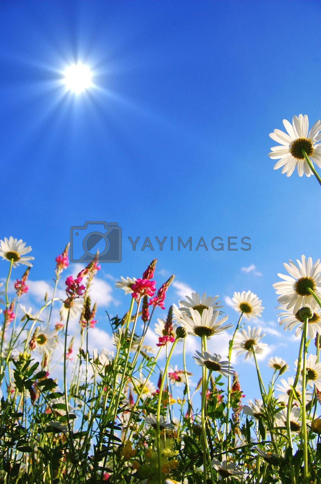 flowers on meadow in summer from below and blue sky