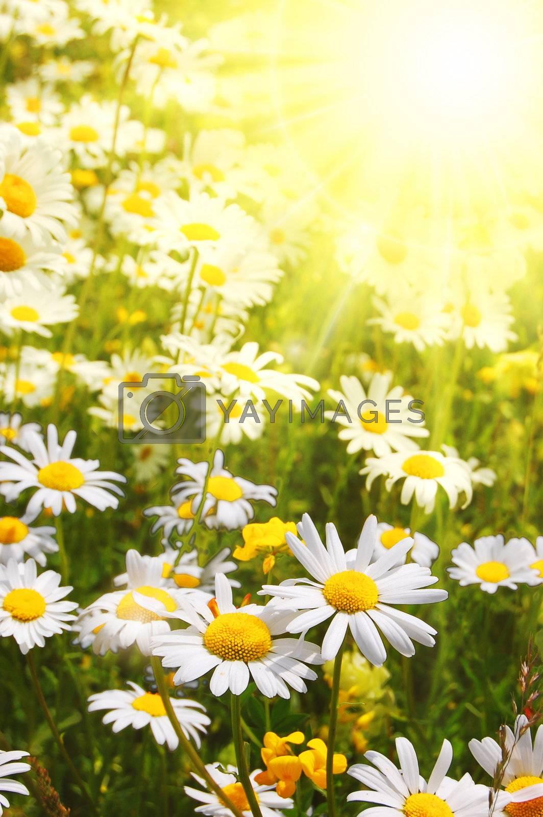 daisy flower on a sunny summer field