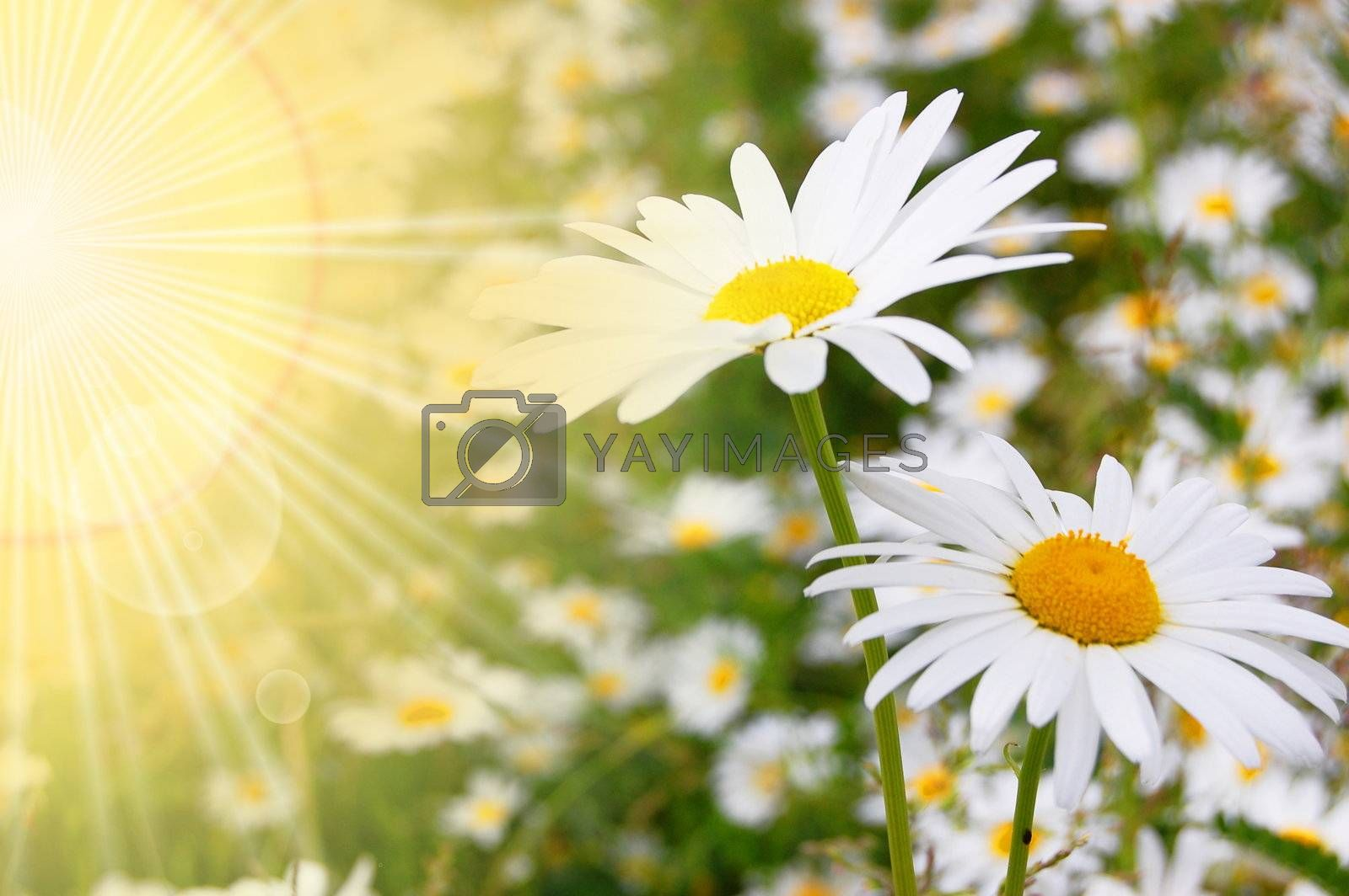 flower and sun in summer on a field