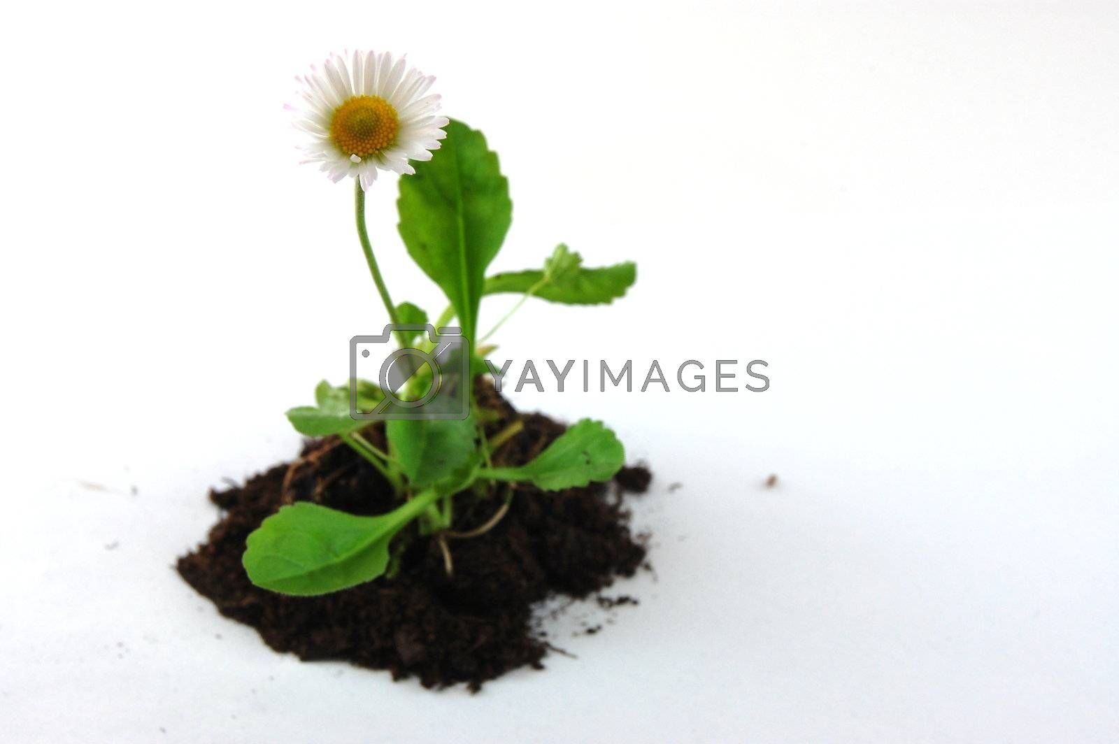 Plant and soil isolated on a white background.