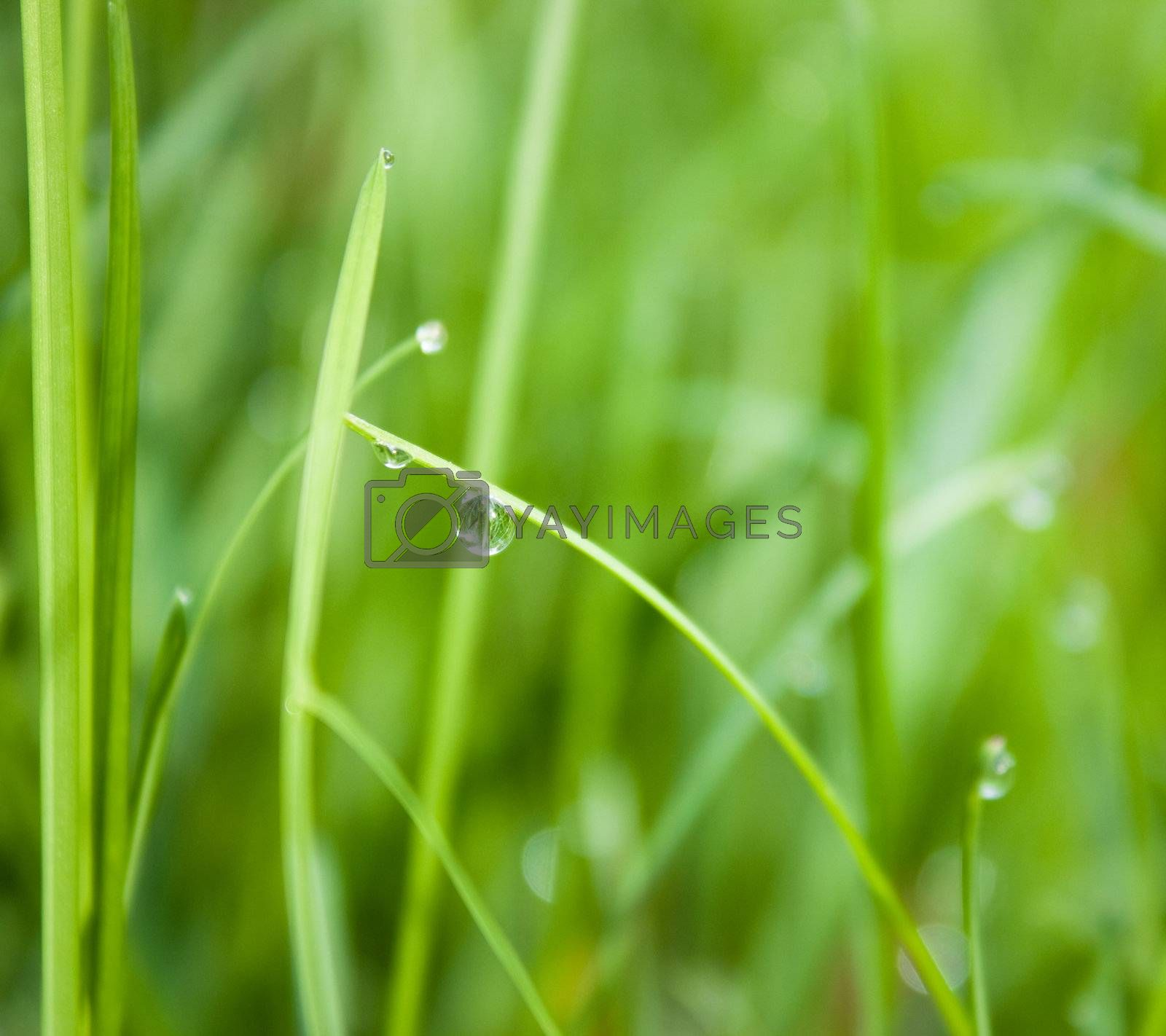 Water droplets on a grass, shallow dof