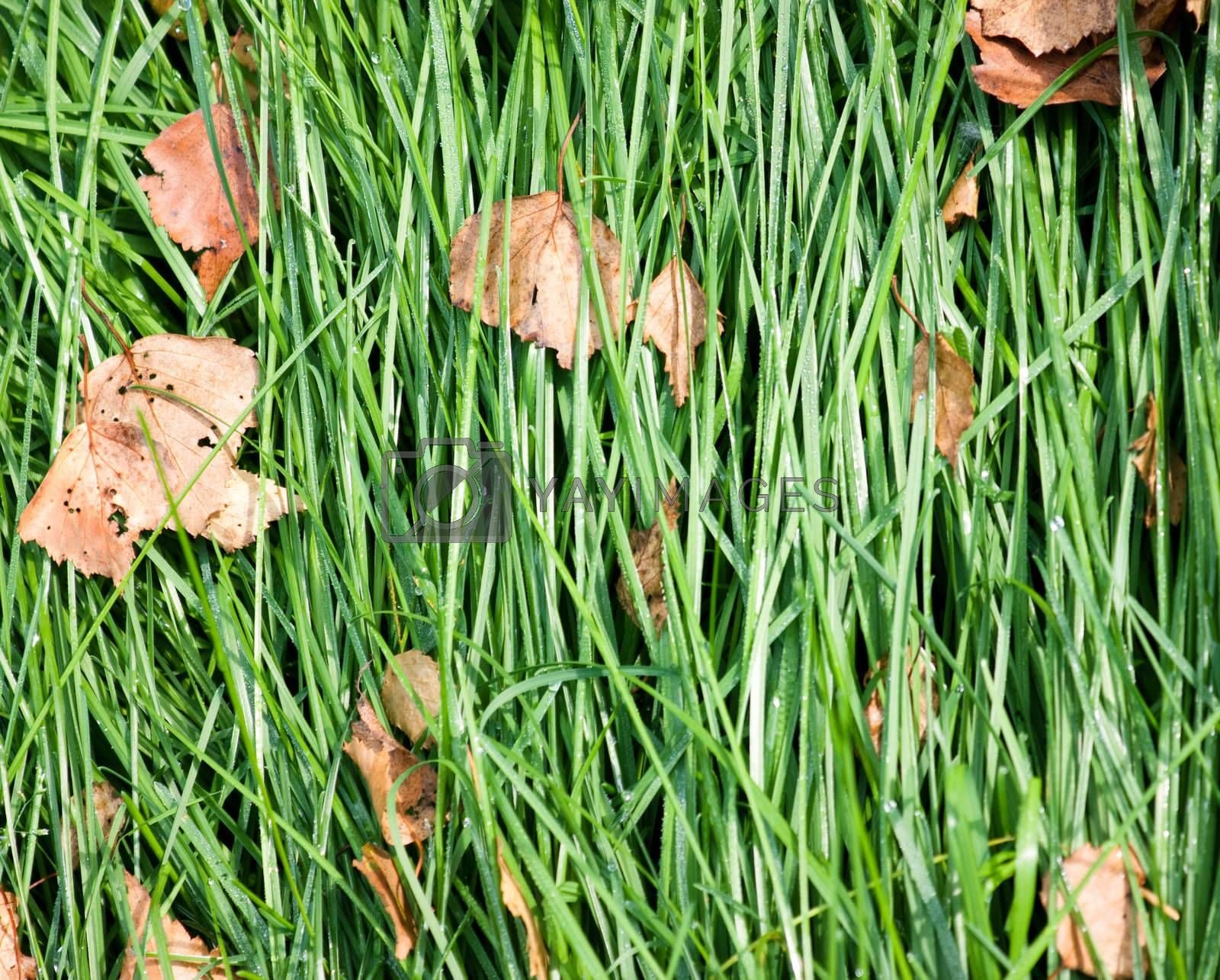 Laid grass with fallen leaves in the autumn