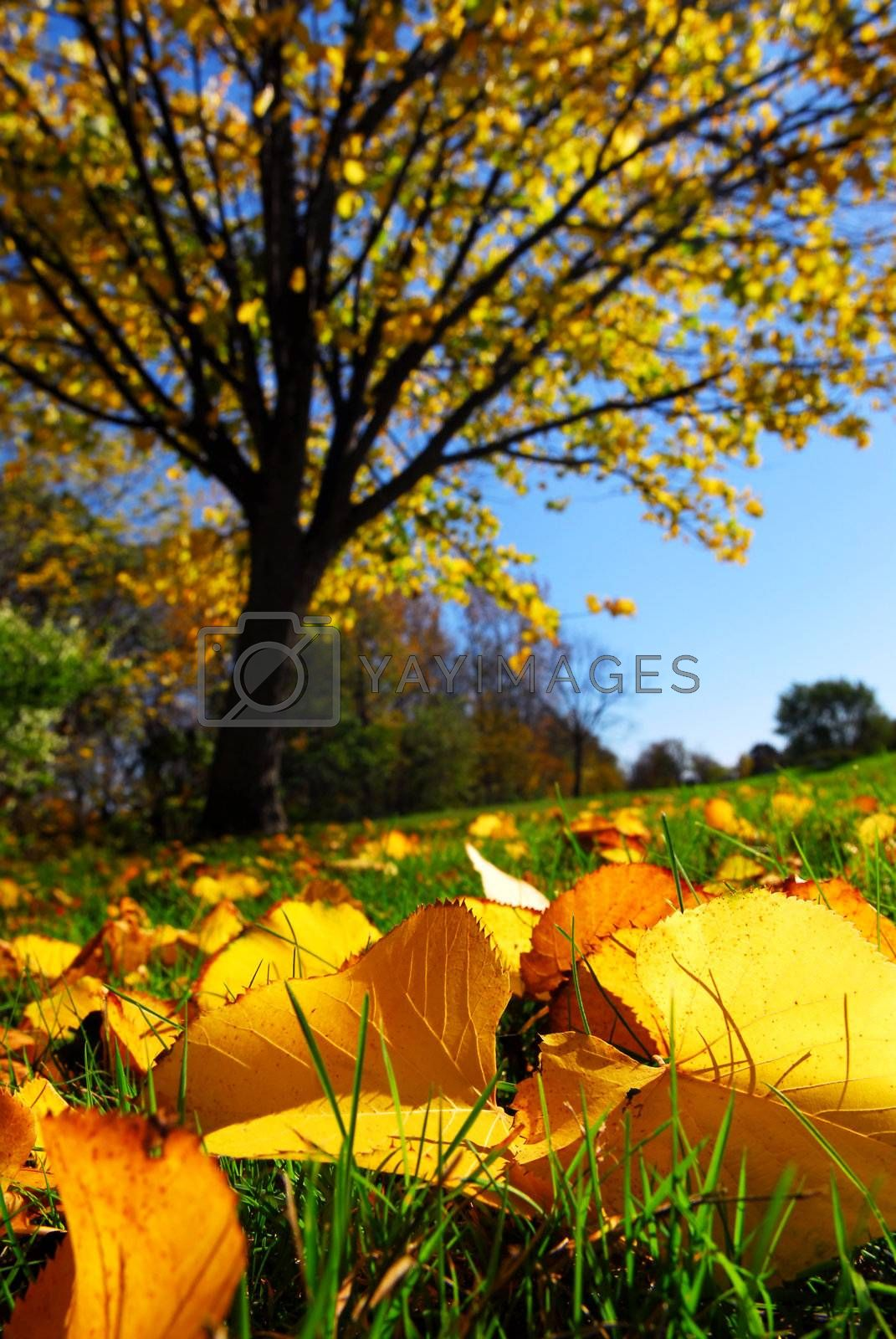 Fall landscape with autumn linden tree and golden leaves on the ground