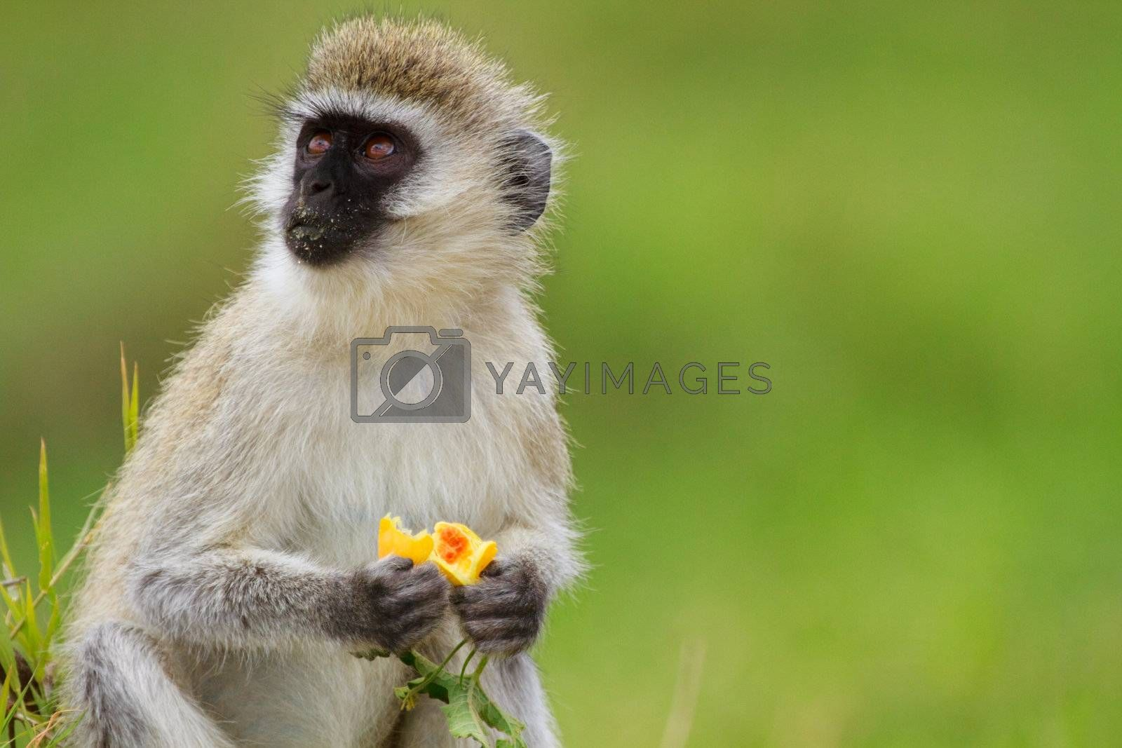 Black-faced vervet monkey eating fruit. Serengeti national park, Tanzania