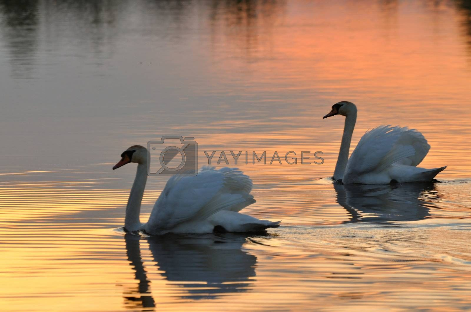 Two swans on a lake at sunset