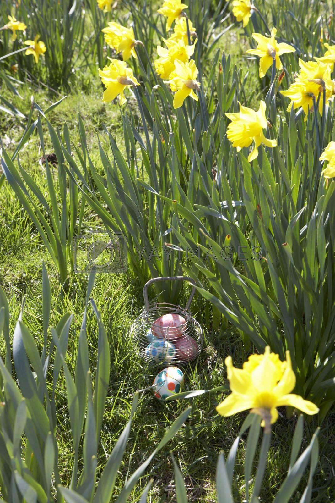 Royalty free image of Easter Eggs Hidden For Hunt In Daffodil Field by omg_images