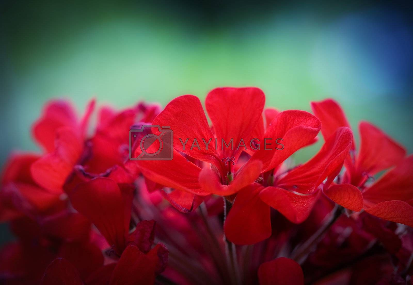 Colorful flower macro photo with shallow DOF