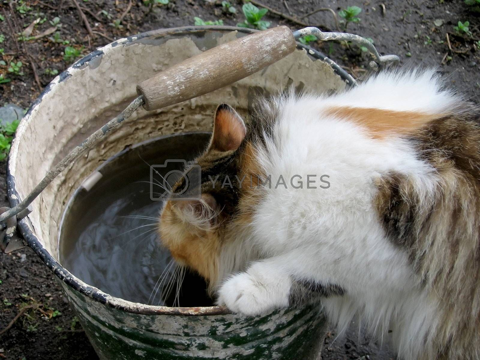 Cute cat drinks water from the bucket