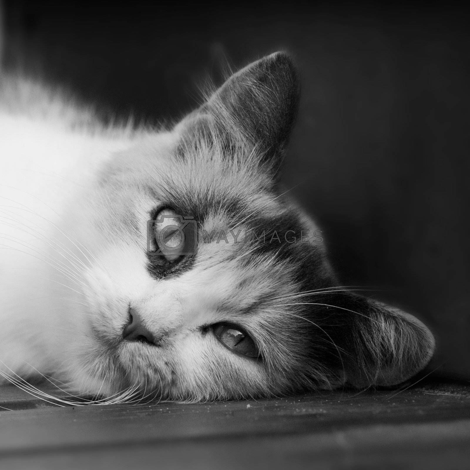 A black and white image of a calico cat lying its head on a deck.