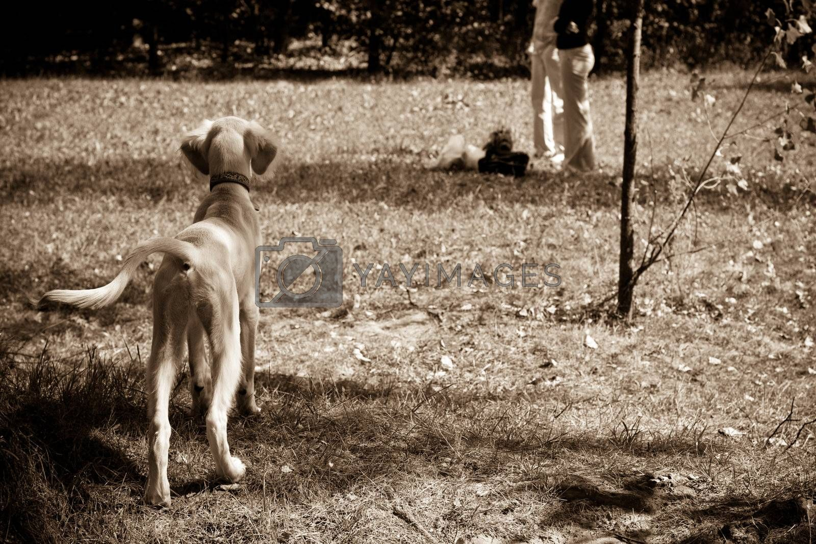 A standing saluki pup in a field and two people in the distance