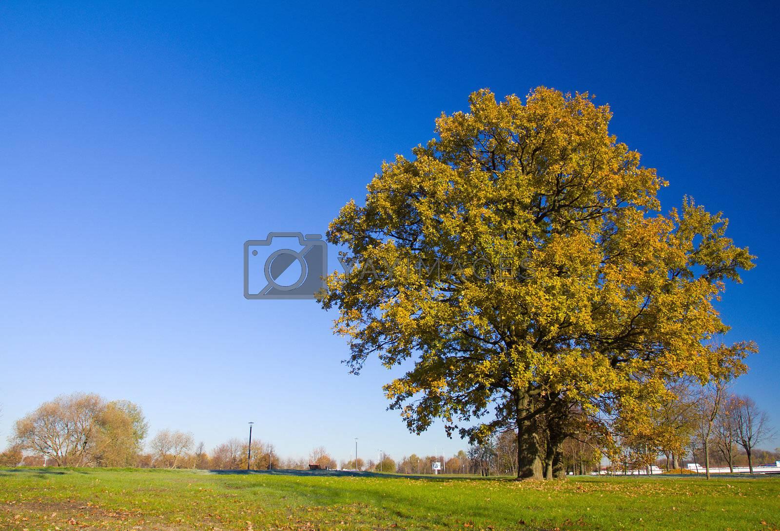 lonely oak tree in autumn