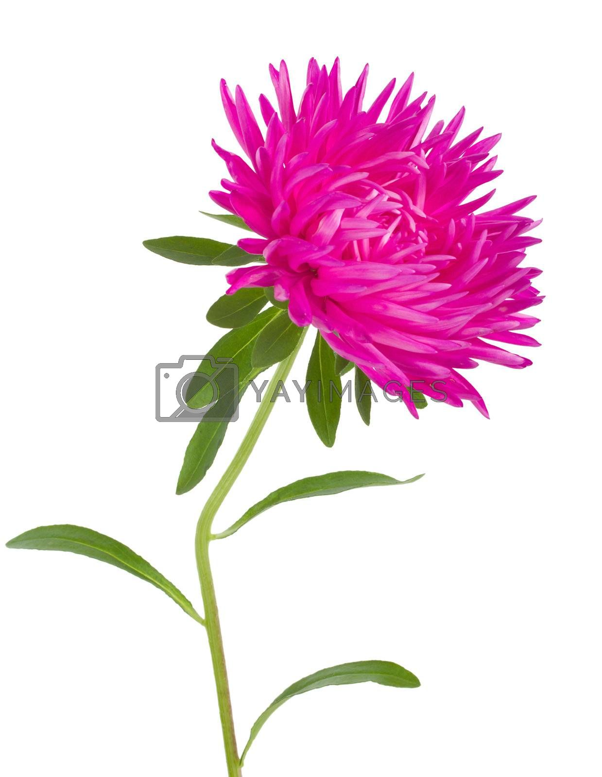 pink aster flower by Alekcey