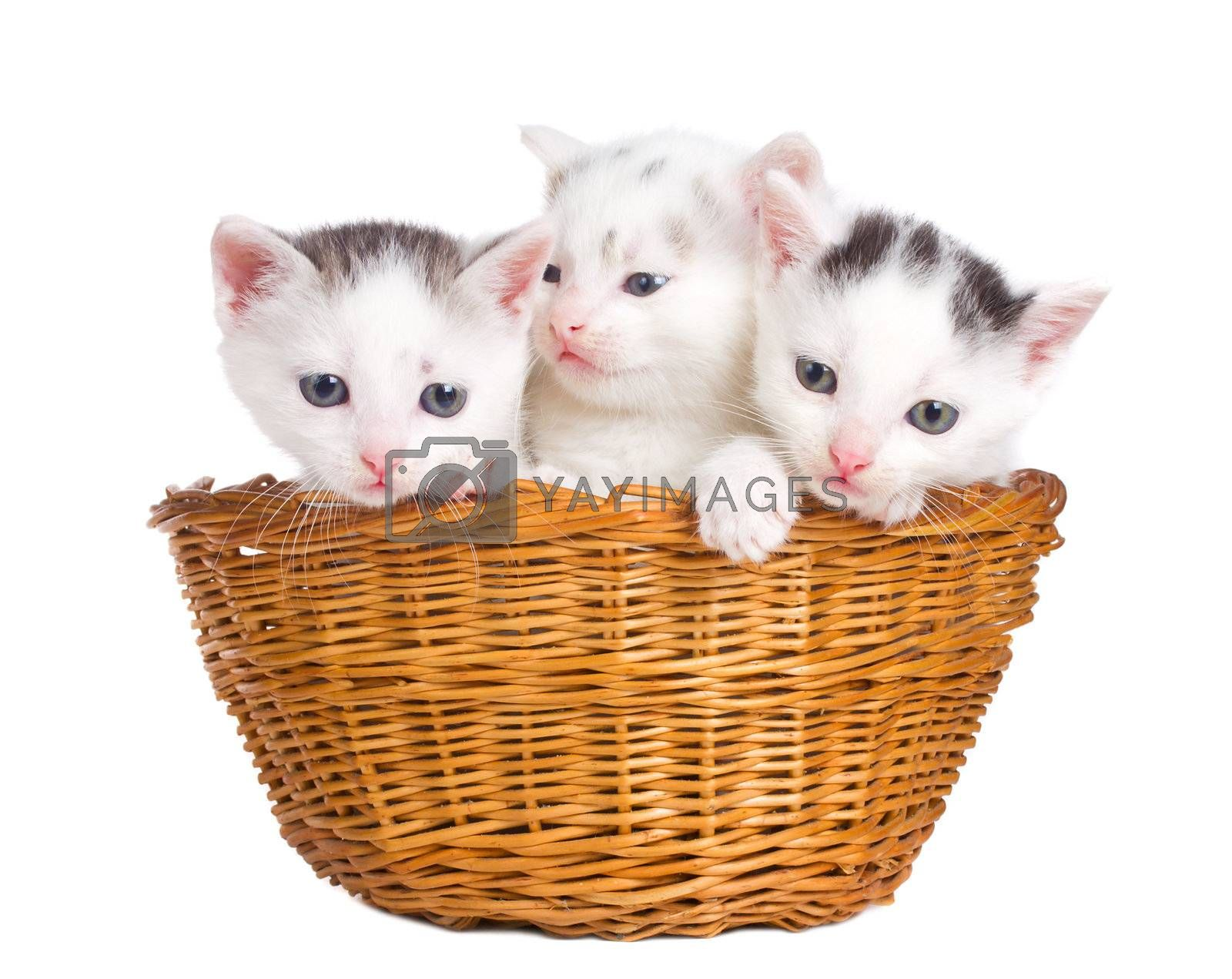close-up three kittens sitting in basket, isolated on white