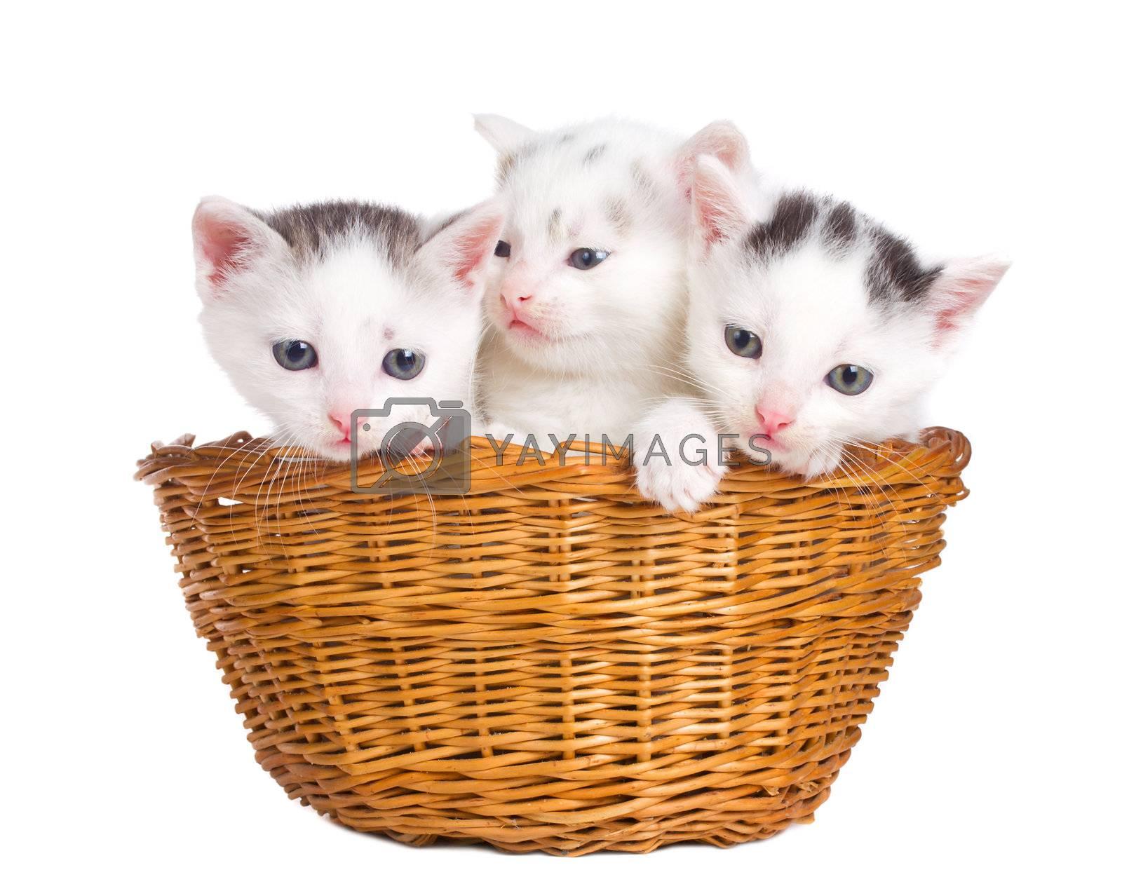 three kittens sitting in basket by Alekcey