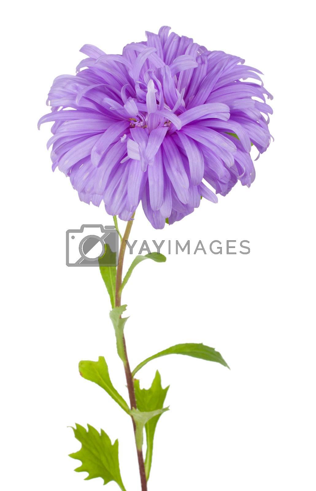 violet aster flower by Alekcey