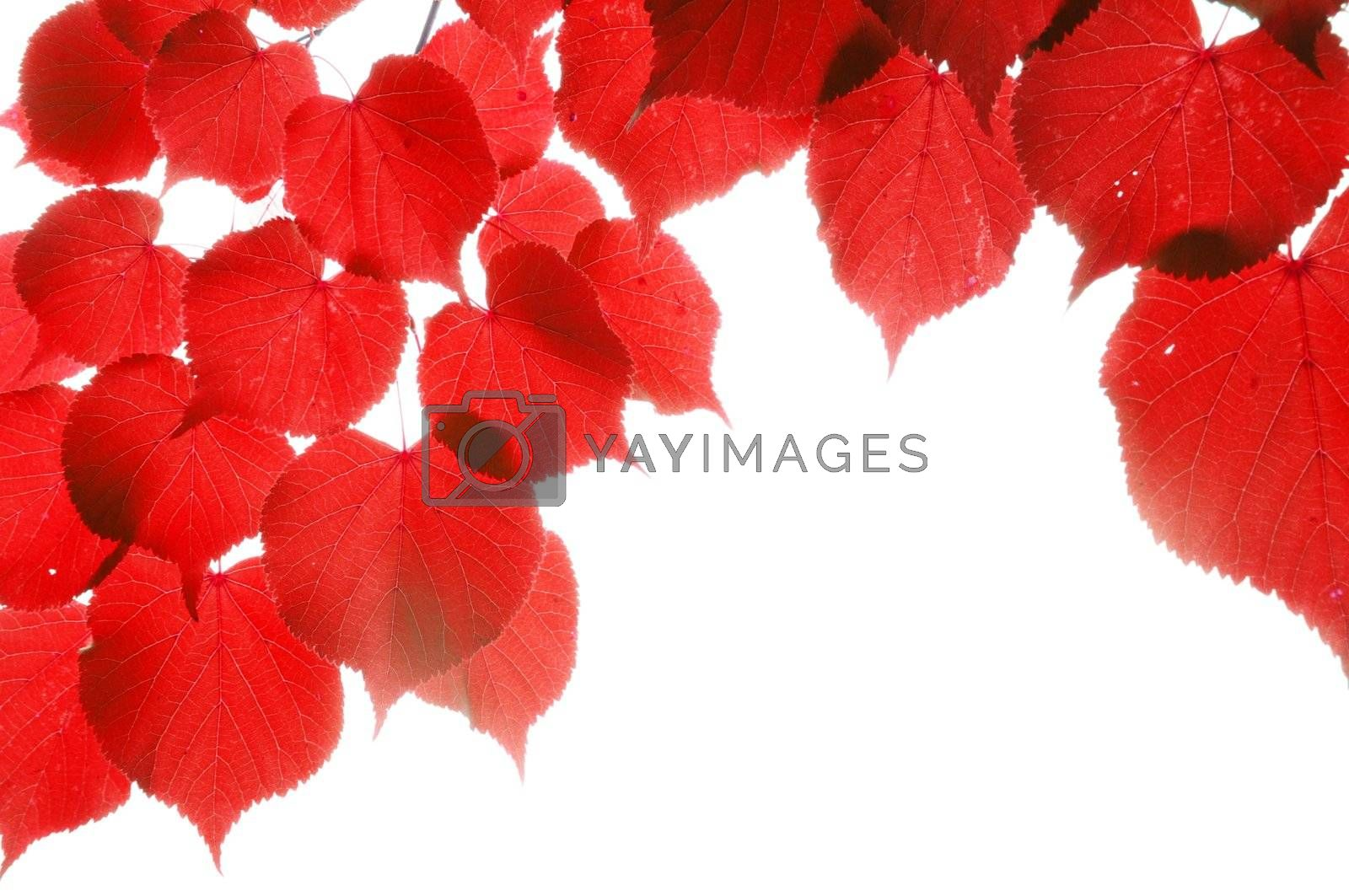 Royalty free image of red fall leaves by gunnar3000