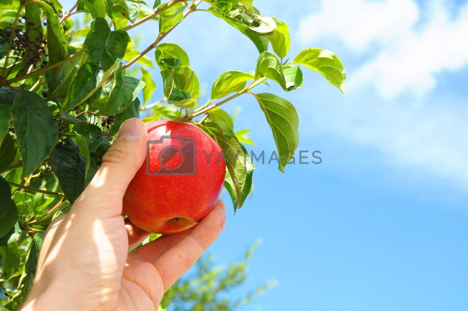 Royalty free image of apple by gunnar3000