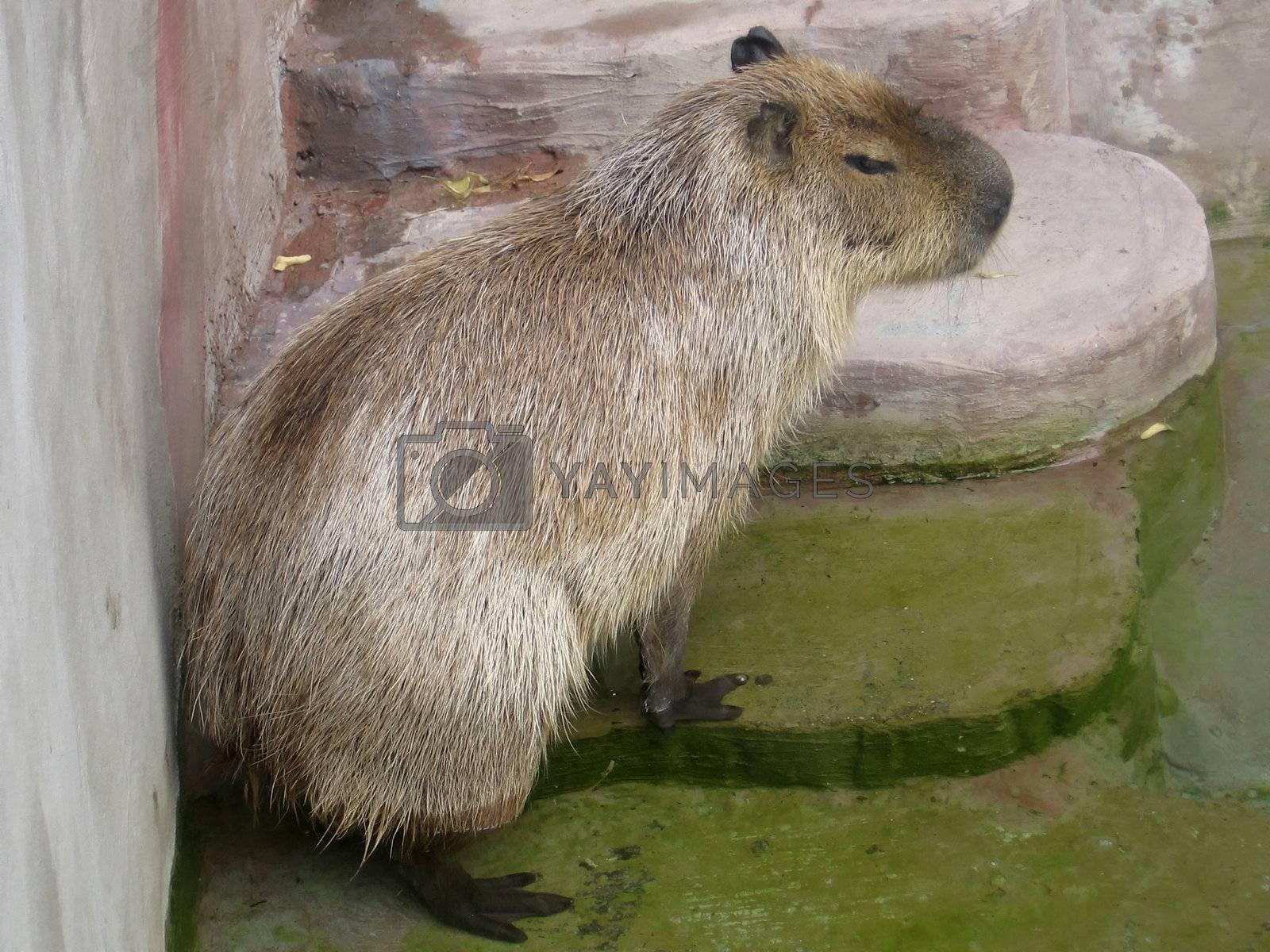 Royalty free image of Capybara by tomatto