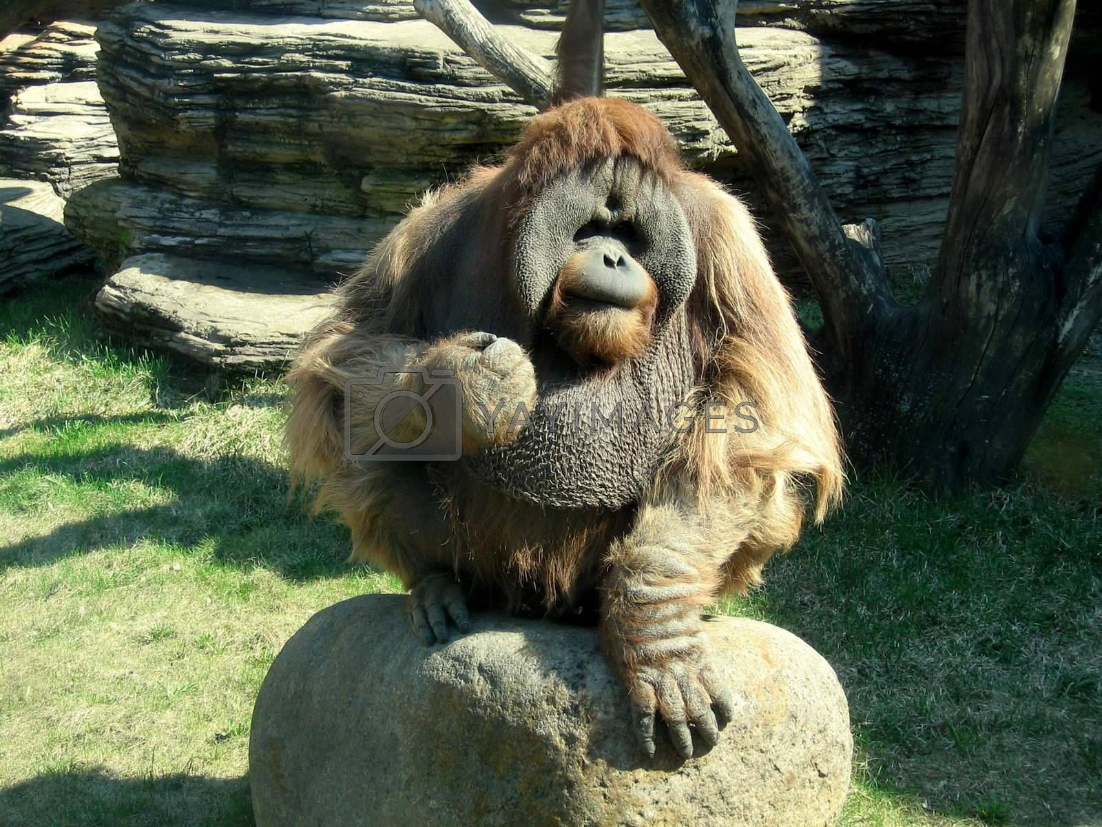 Royalty free image of Angry orangutan by tomatto