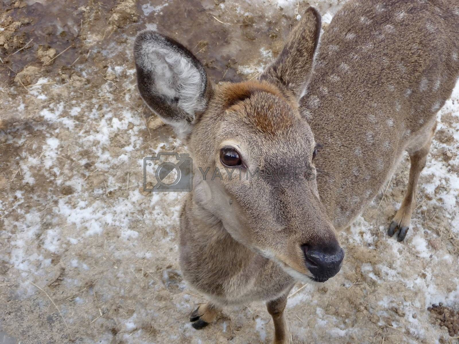 Royalty free image of Doe by tomatto