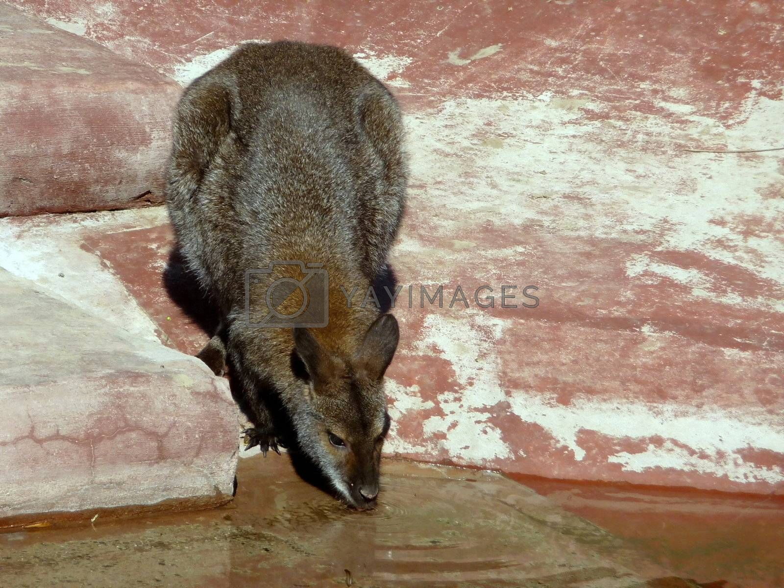 Royalty free image of Kangaroo drinks water by tomatto