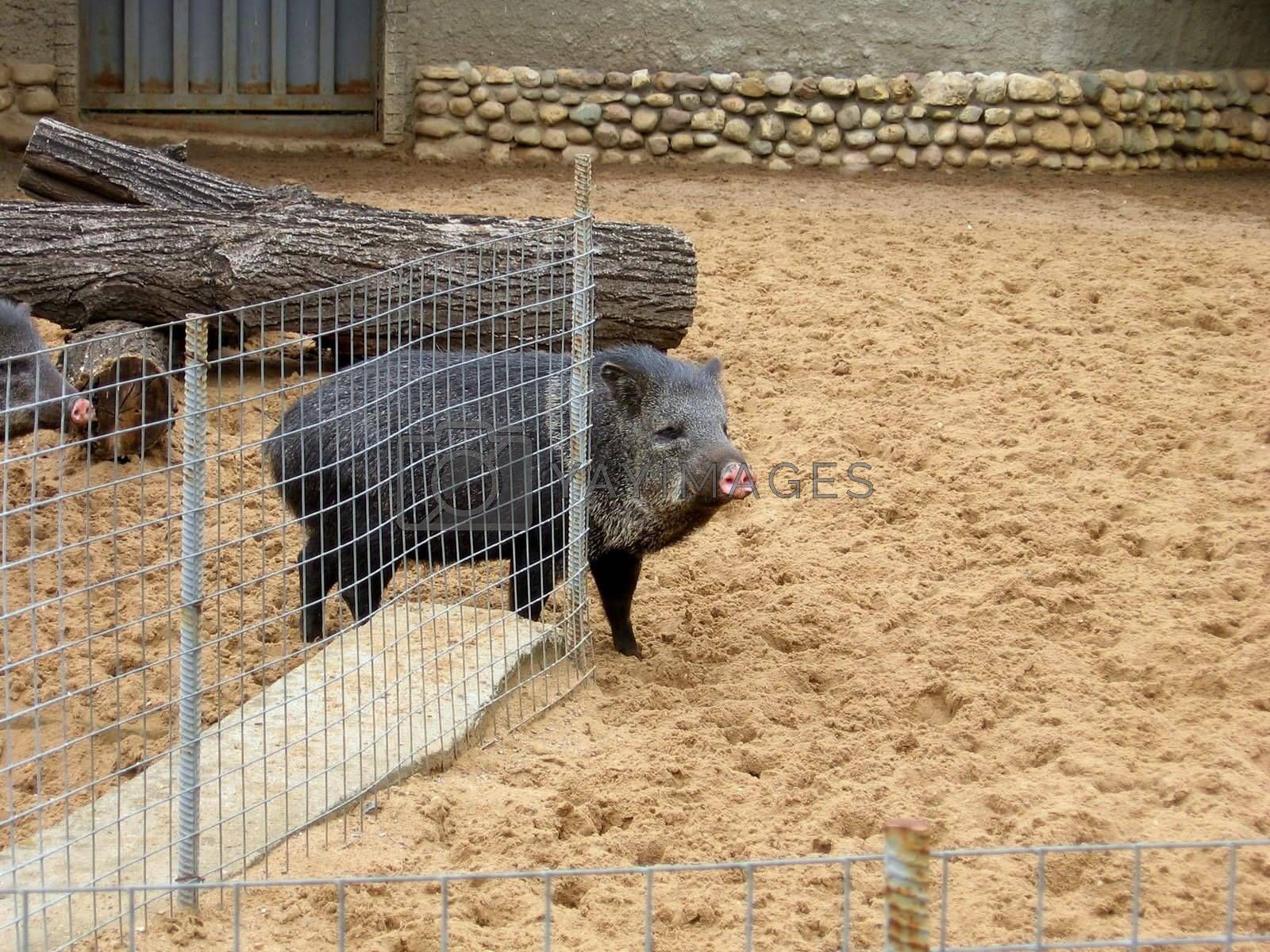 Royalty free image of Wild boar by tomatto