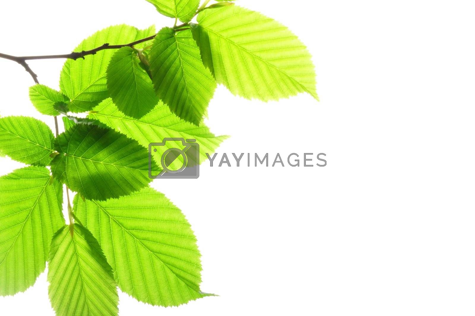 Royalty free image of green leaves by gunnar3000
