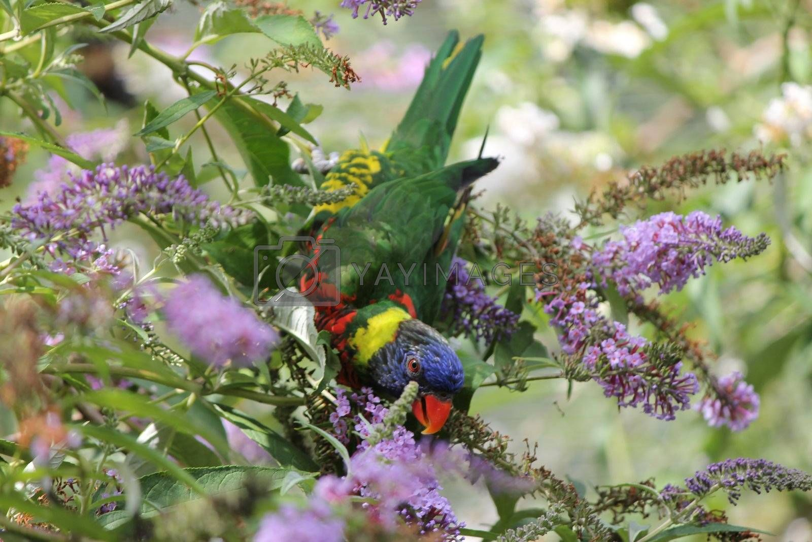 Royalty free image of parrot by mariephotos