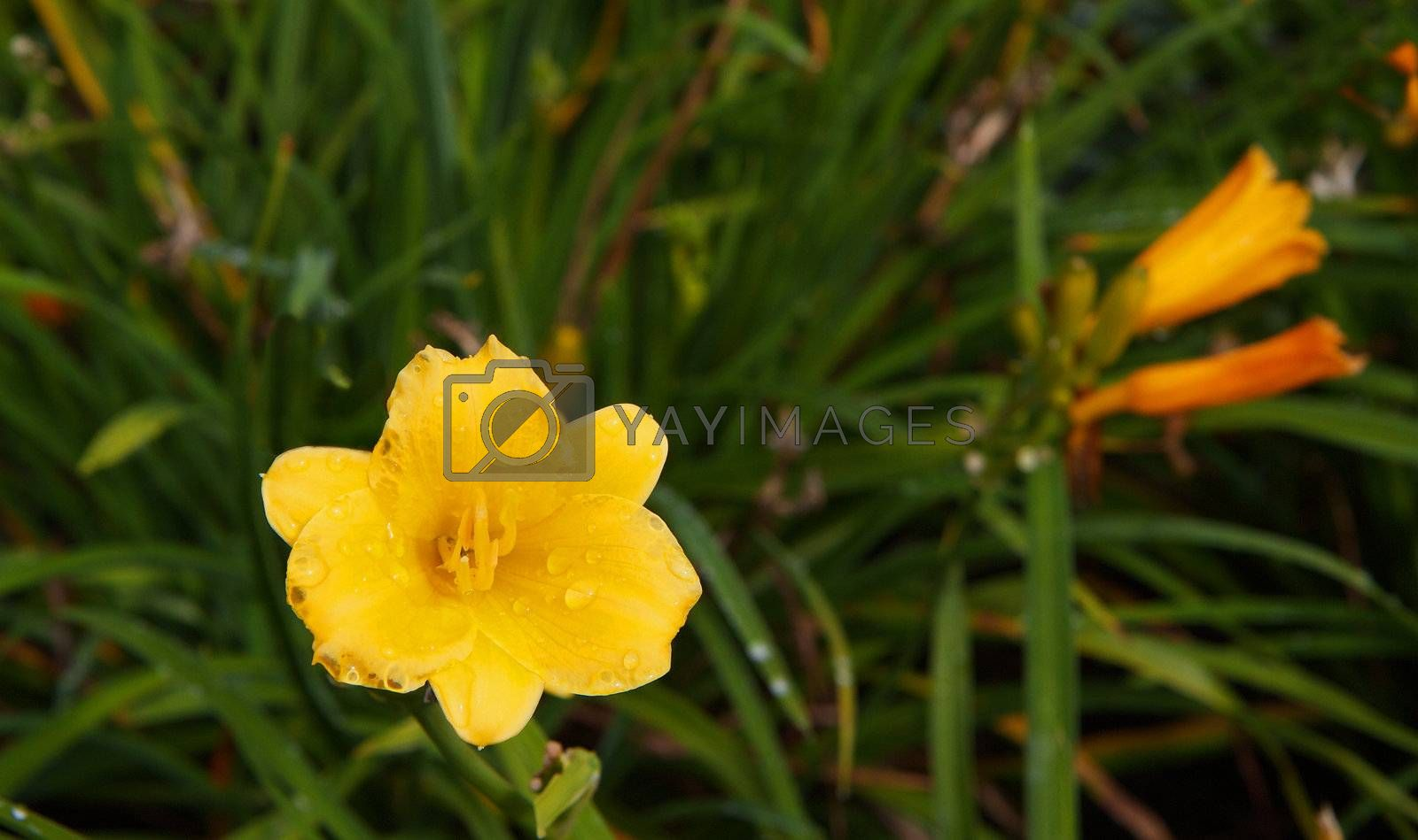Royalty free image of Yellow Day Lilly by bobkeenan