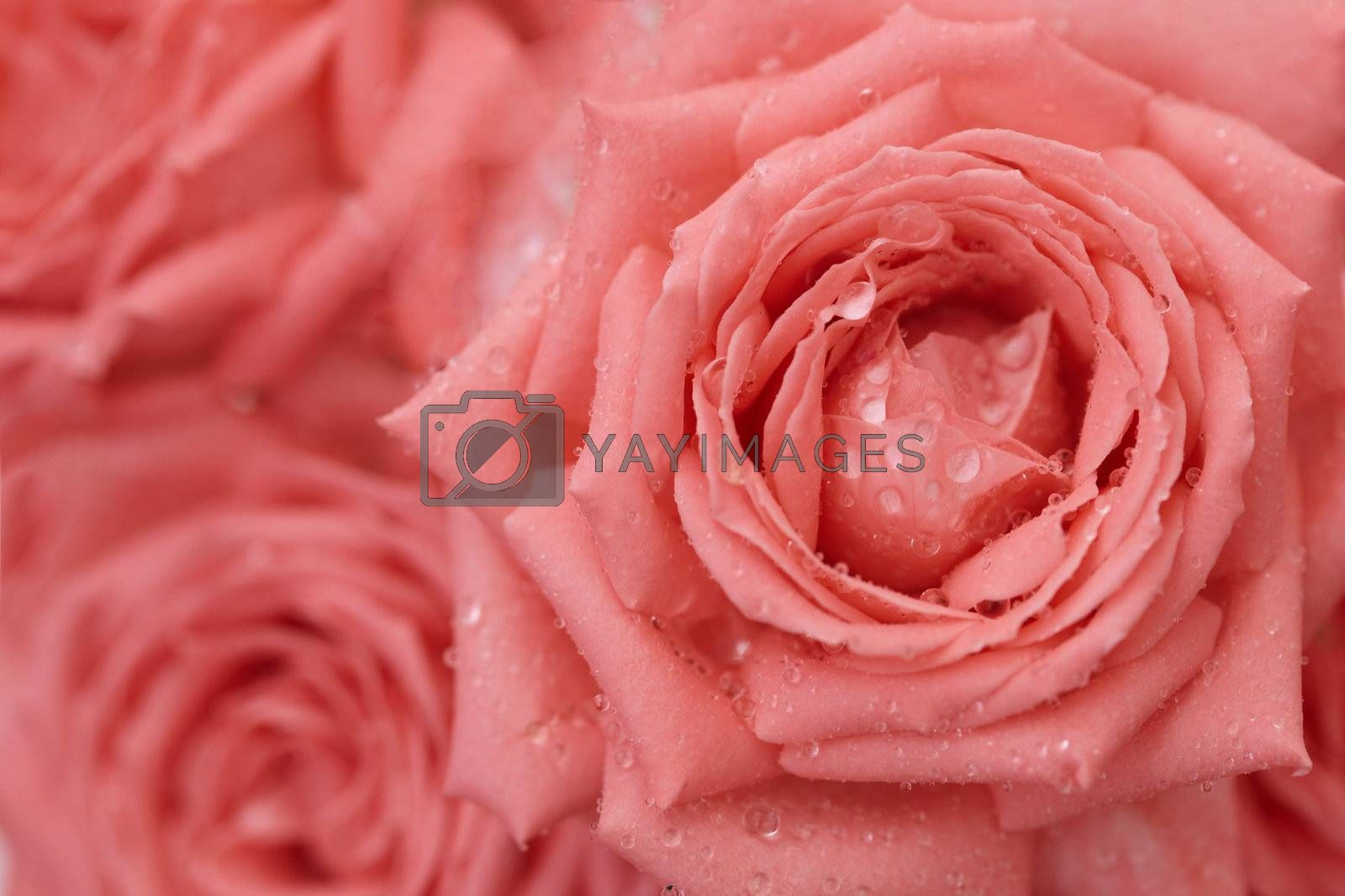 Royalty free image of Roses with drops on petals - background by pzaxe